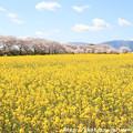 IMG_8911藤原宮跡・春ゾーン・菜の花と染井吉野