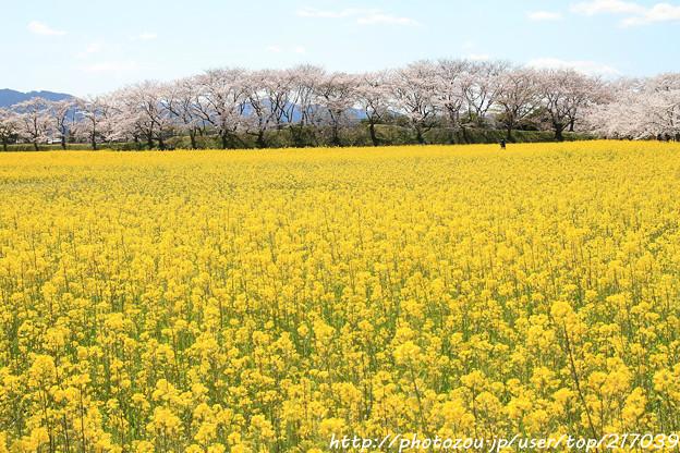 IMG_8916藤原宮跡・春ゾーン・菜の花と染井吉野