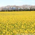 Photos: IMG_8916藤原宮跡・春ゾーン・菜の花と染井吉野