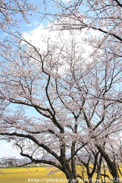 IMG_8921藤原宮跡・春ゾーン・染井吉野と菜の花