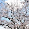 Photos: IMG_8921藤原宮跡・春ゾーン・染井吉野と菜の花