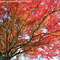 IMG_9098鳥見山公園・紅葉