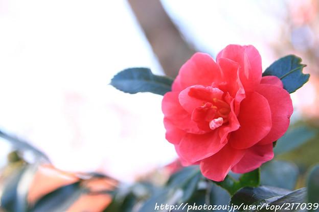 IMG_9204山茶花