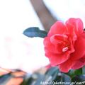 Photos: IMG_9204山茶花
