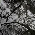 写真: 櫻之畫