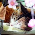 写真: 貓與櫻
