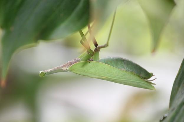 幼虫キラー!カマキリ