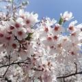 写真: 桜 P4122372