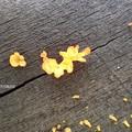 写真: 黄色いキノコ P8031274