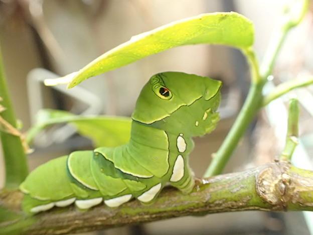 ナミアゲハ 終齢幼虫 P5190582
