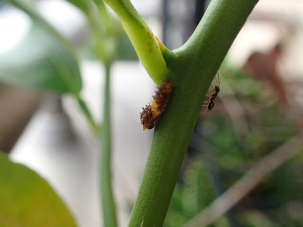 アゲハ 2齢幼虫