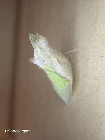 アゲハの 蛹 P6261621
