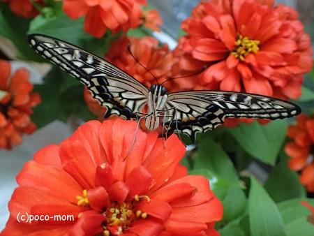 羽化して翅がのびたアゲハ P6281660