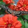 Photos: 羽化して翅がのびたアゲハ P6281660