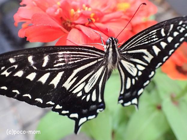 羽化して翅を伸ばしたアゲハ P6281675 (2)