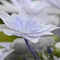 額紫陽花1