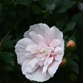 八重咲の木槿(ムクゲ)1