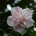 八重咲の木槿(ムクゲ)2