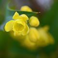 柊南天の花