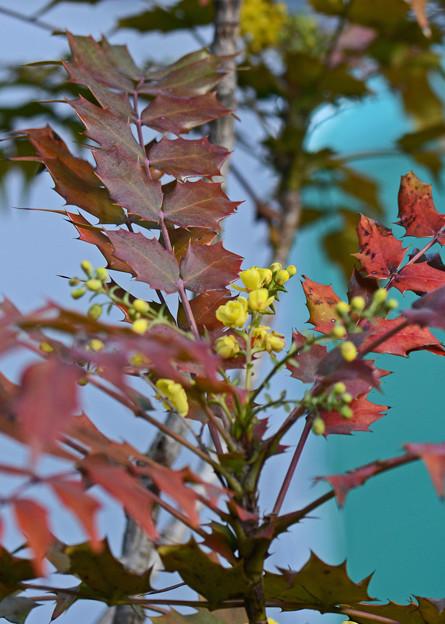 柊南天の花2