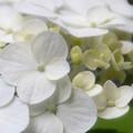写真: 白い紫陽花