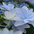 写真: 梅雨を彩る花