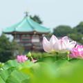 写真: 不忍池の蓮花