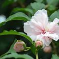 写真: 八重咲きのムクゲ