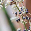 写真: 玉状の果実