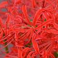 満開の赤い曼珠沙華3