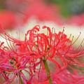 満開の赤い曼珠沙華2