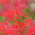 満開の赤い曼珠沙華1