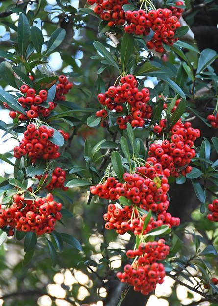 ヒマラヤトキワサンザシの果実