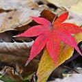 Photos: 紅葉落葉