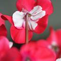 Photos: 満開の炎の花