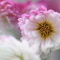 Photos: 冬空に咲く