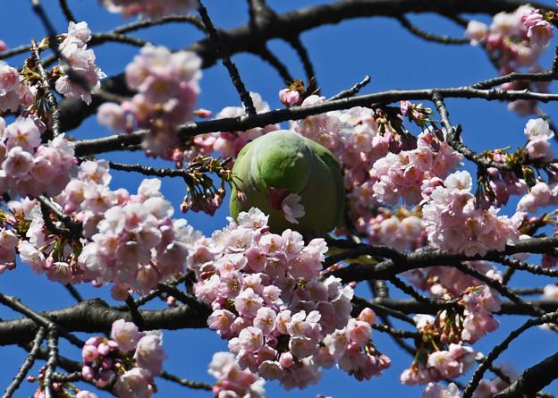 Photos: 桜にインコ1