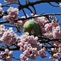 写真: 桜にインコ1