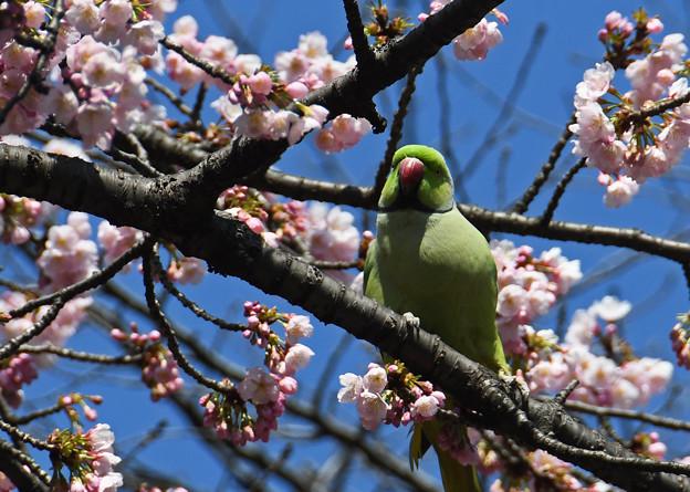 桜にインコ2