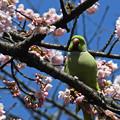 写真: 桜にインコ2