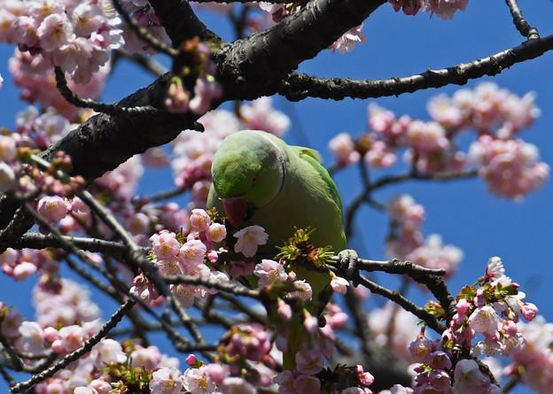写真: 桜にインコ3
