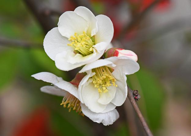 白木瓜の花