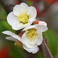 写真: 白木瓜の花
