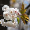 Photos: 佐野桜2