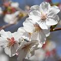 藪桜(ヤブザクラ)