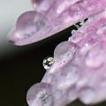 Photos: 滴に咲く1