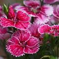 Photos: 花壇に咲くナデシコ