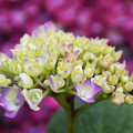 雨上がりの四葩の花1