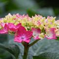 雨上がりの四葩の花2