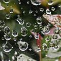 Photos: 蜘蛛糸の滴